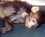 makake død