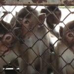 monkeys kept at Vanny Bio-Research in Cambodia