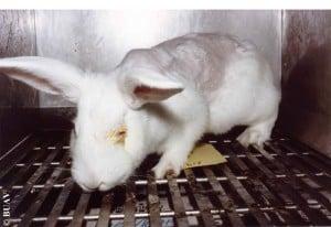 kanin øjentest
