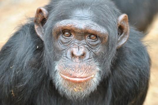 forsøgsdyrenes værn chimpanse