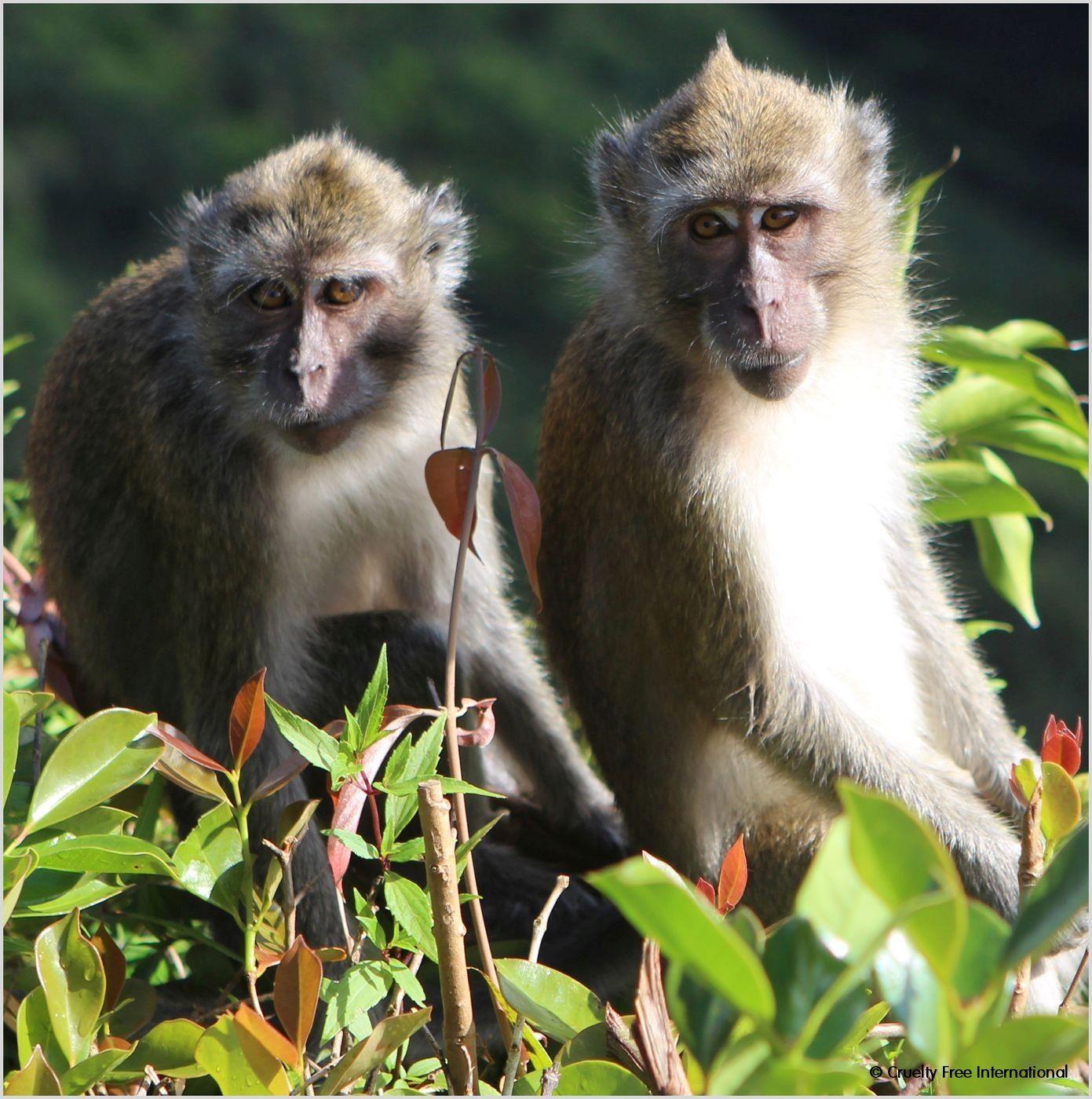 Mauritius Wild Monkey
