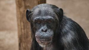 Forsøgsdyrenes-Værn-abe