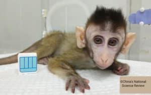 Forsøgsdyrenes-Værn-klonet-abe