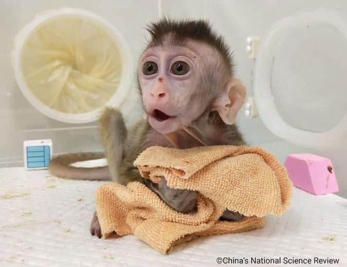 Forsøgsdyrenes Værn klonet abe