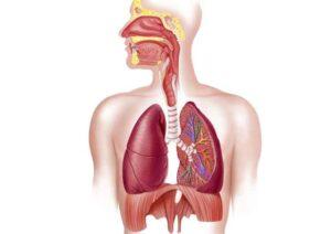 forsøgsdyrenes-værn-respiratory_system