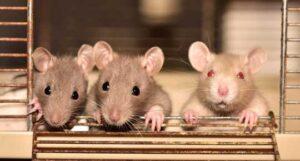 forsøgsdyrenes-værn-3-rotter-2